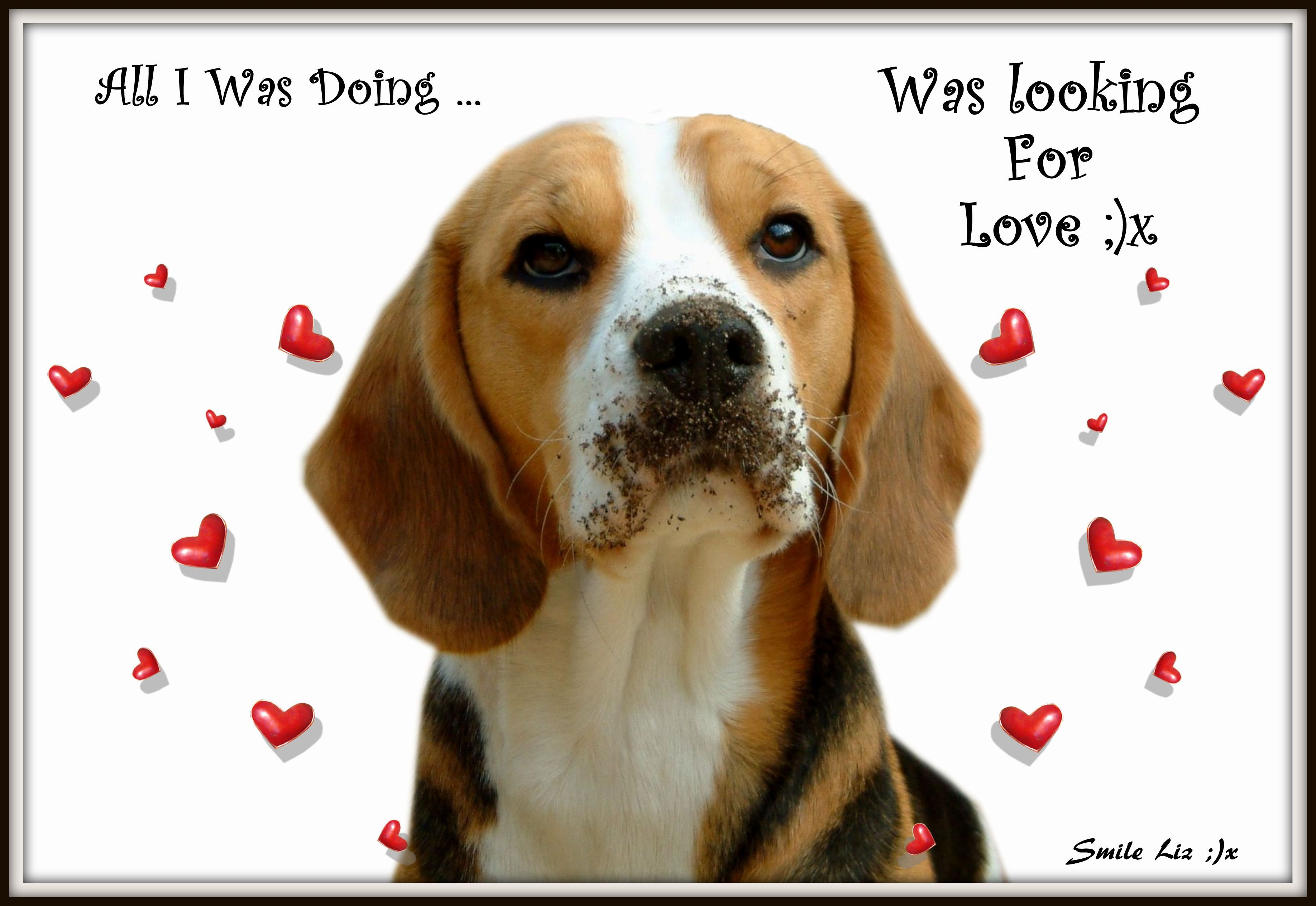 Beagle Dog Quote Love Looking For Love Dog Love Animal Quotes