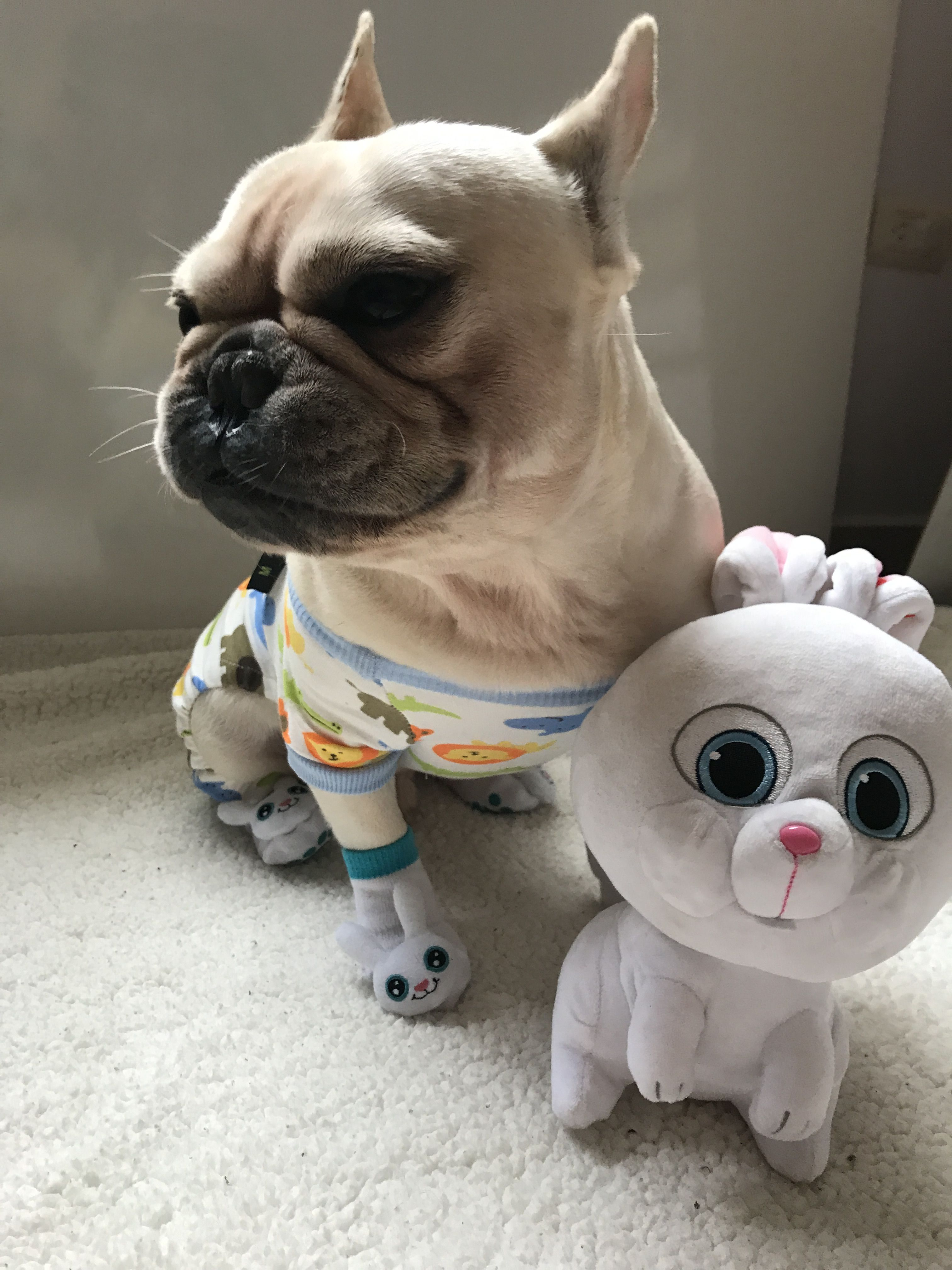 Roberto the French Bulldog, Cute Bunny Overload French