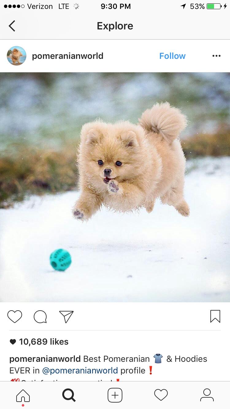 Pomeranian cute dogs pinterest pomeranians baby animals and