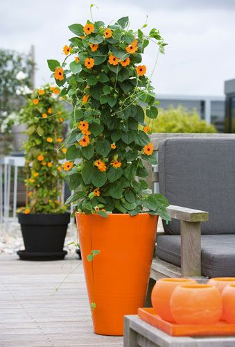 Thunbergia Alata L J Noordam Terrasplanten Kwekerij Potplanten Planten Tuin