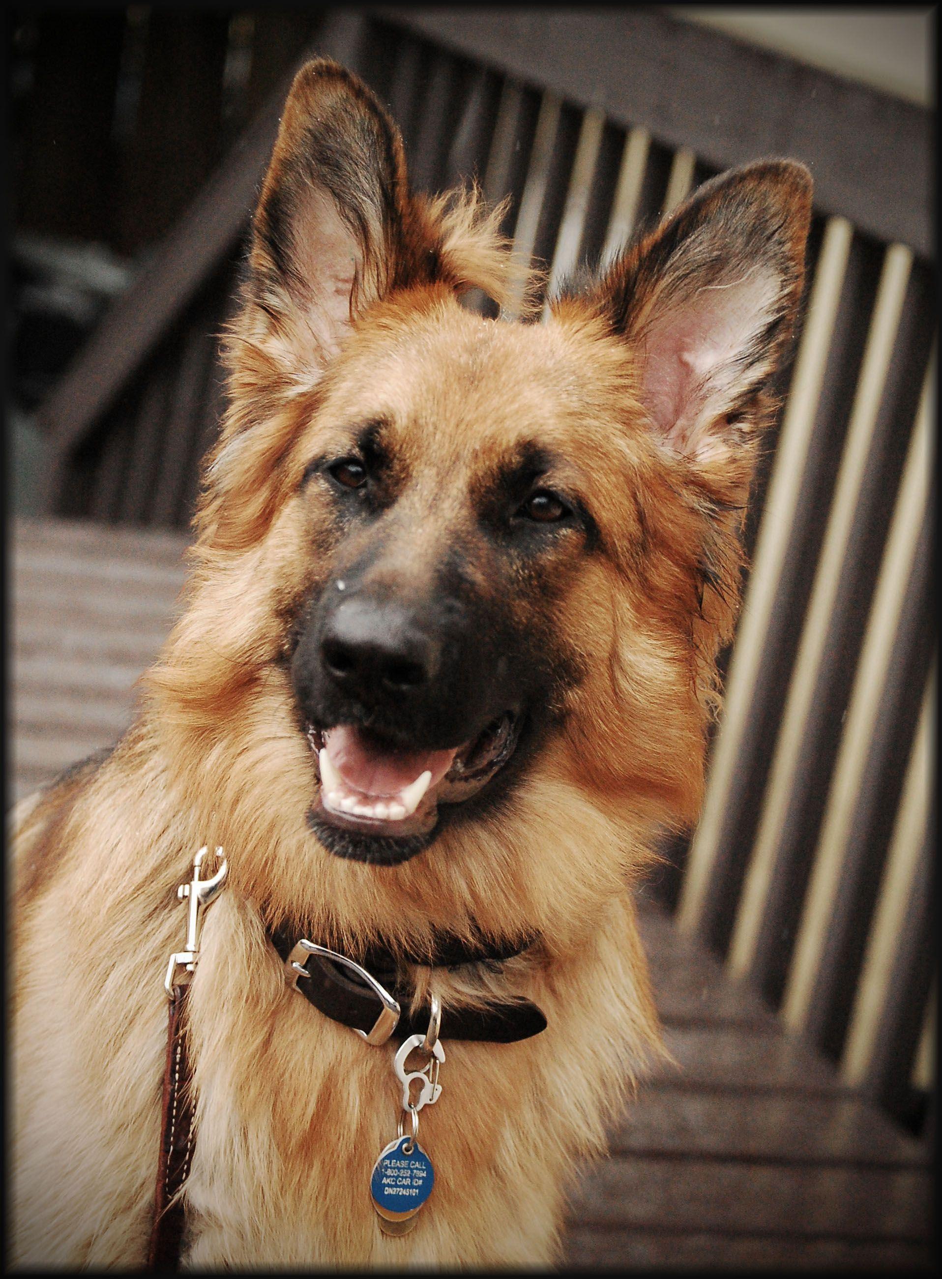 Long Haired German Shepherd Puppies Maine Ideas