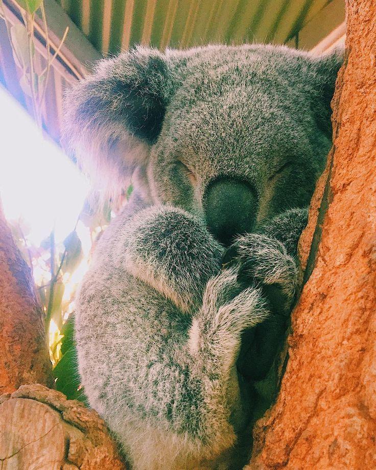 здорово картинка коала с лисой заговор теория заговора
