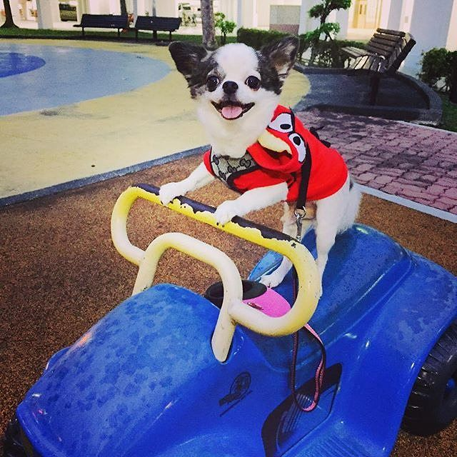 New ride  @luvclaud Tag your pup using #chihuahuafanatics to get featured!