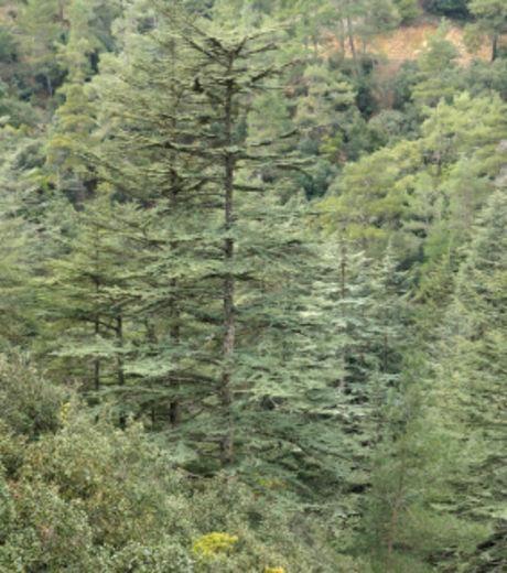 La biodiversité du Moyen-Atlas au Maroc, région qui abrite la plus importante réserve d'eau de l'Atlas, est menacé par l'abattage illégal des cèdres. Chaque année, des milliers d'arbres sont coupés, dans la forêt d'Ajdir, notamment.