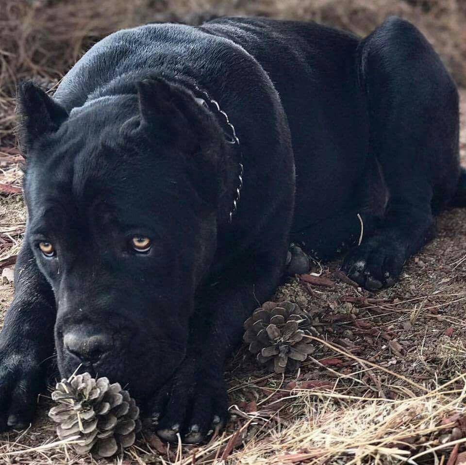 From I Love My Cane Corso Corso Dog Cane Corso Cane Corso Dog