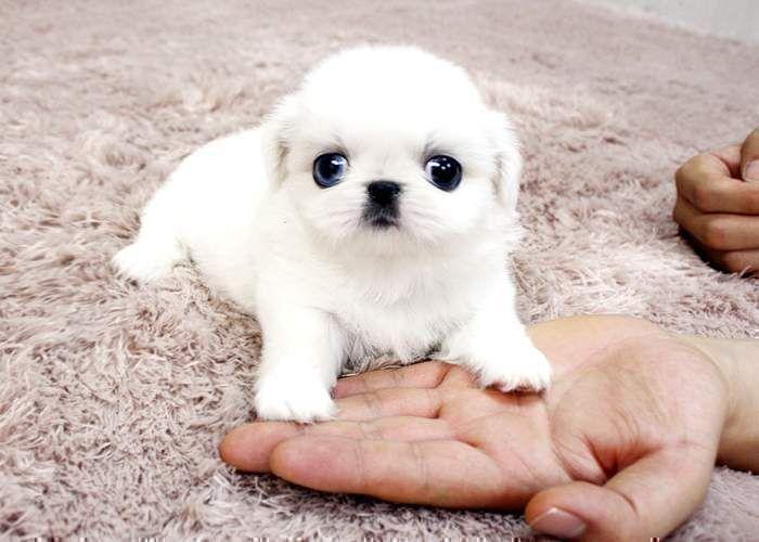 Teacup Puppies For Adoption Teacup Pekingese Puppies For Adoption Kuwait Baby Animal Videos Baby Animals Pictures Cute Baby Animals