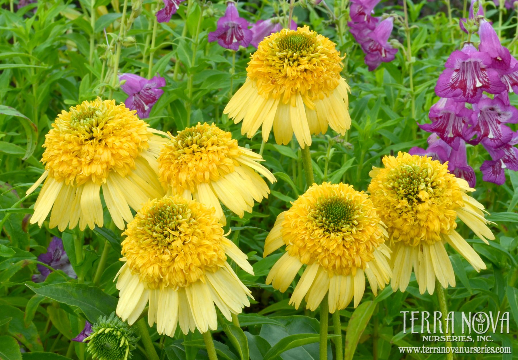Echinacea Meteor Yellow Lovely Double Yellow Anemone Type Flowers On An Upright Compact Habit Great Branching Yellow Perennials Perennial Plants Echinacea