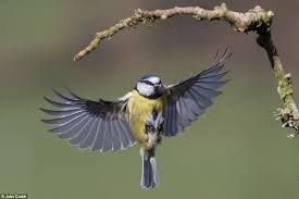 Surprising Image Result For Common Garden Birds Uk Flying  Birds  Pinterest  With Engaging Image Result For Common Garden Birds Uk Flying With Appealing Trees For Courtyard Gardens Also Garden Party Music In Addition Garden Playhouse Plastic And Kitchen Garden Ideas As Well As Future Garden Hydroponics Additionally Lee Garden Galashiels From Pinterestcom With   Engaging Image Result For Common Garden Birds Uk Flying  Birds  Pinterest  With Appealing Image Result For Common Garden Birds Uk Flying And Surprising Trees For Courtyard Gardens Also Garden Party Music In Addition Garden Playhouse Plastic From Pinterestcom
