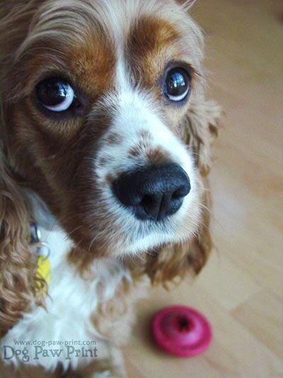H Efhmerida Twn Skylwn Oi Galloi Pws Onomazoyn Toys Skyloys Toys Puppy Dog Eyes Cocker Spaniel Mix Lucky Puppy