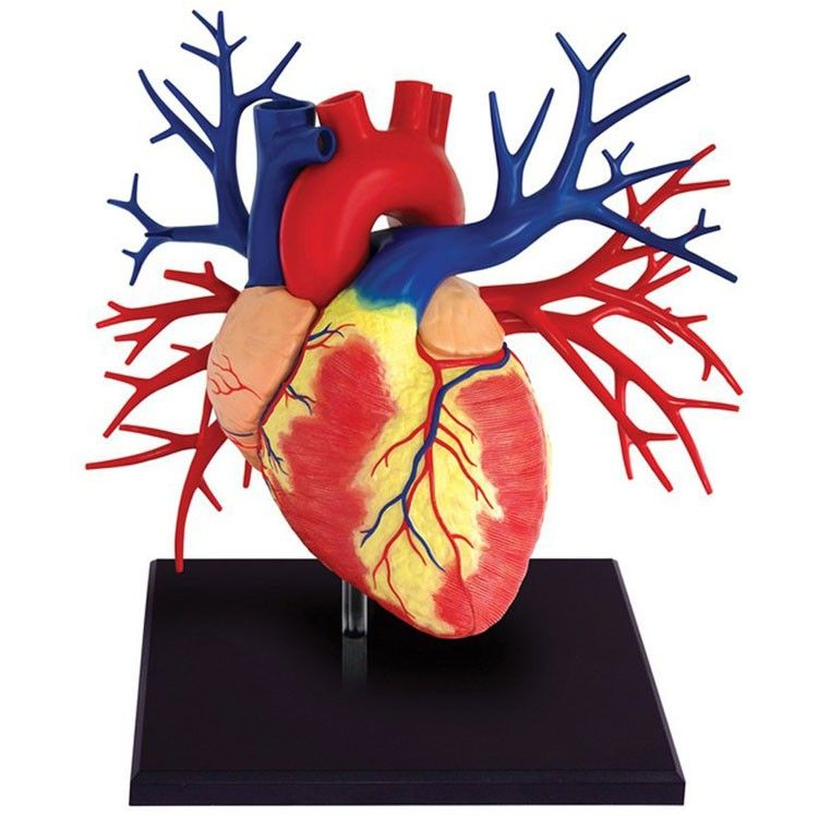 Human Heart Anatomy Life Size 4D Deluxe Model | Heart anatomy, Human ...