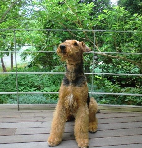 AIREDALE TERRIER Our Airedale has a white blaze like this