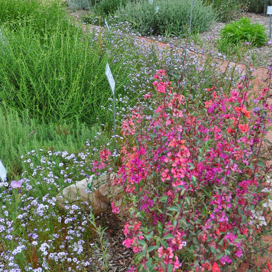 Seminte De Flori Clarkia Elegans Double Delight Double Delight Plants Delight