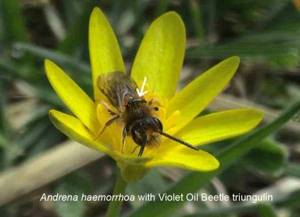 Mining bee with violet oil beetle larva | Meloe violaceus | Beetle