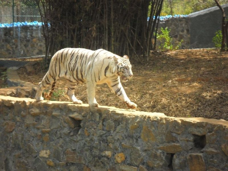 White Tiger In Vandalur Zoo Chennai This Was Shot By Me Please