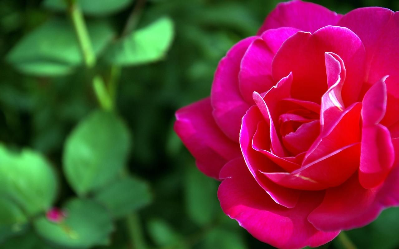 Rose Flower 139 HD Wallpapers | pink | Pinterest | Wallpaper, Rose ...