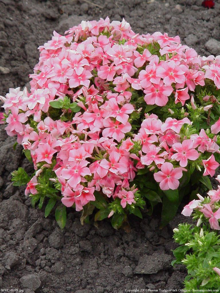 Floks Płomyk Letni Phlox Drummondii Plants For Balcony Flowers
