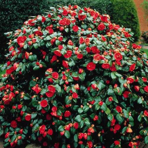 Alabama State Flower Japanese Camellia Camellia Japonica Is A Favorite Flowering Shrub For Many People Flowering Shrubs For Shade Plants Planting Flowers