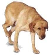 Great Dane Dog Breed Information K9 Web