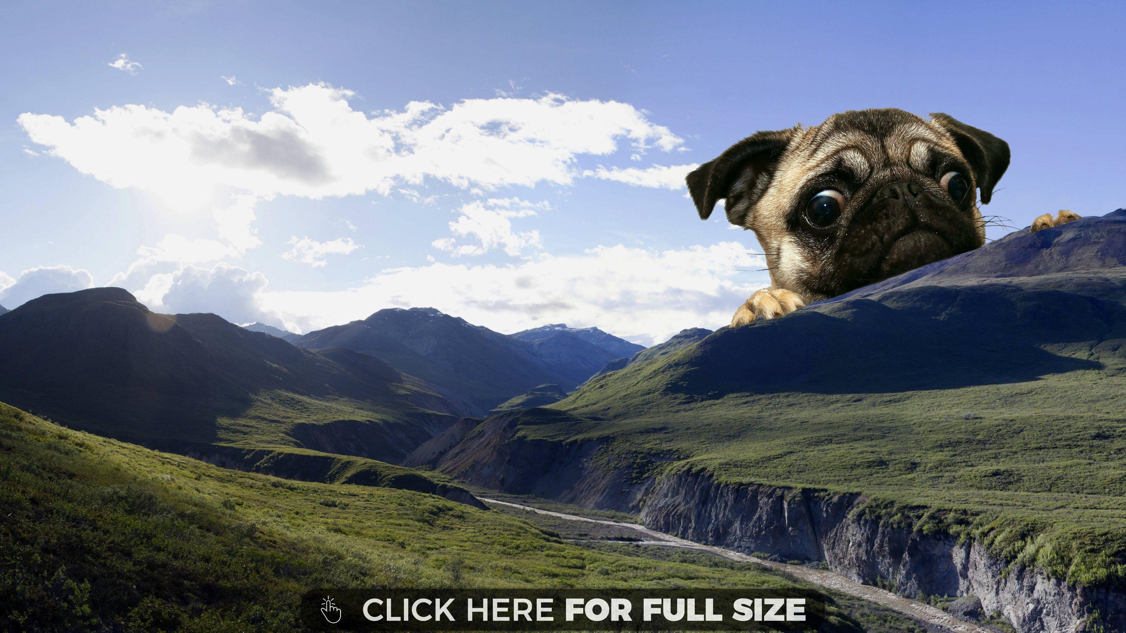 Giant Pug Background Hd Wallpaper Pugs Hd Wallpaper