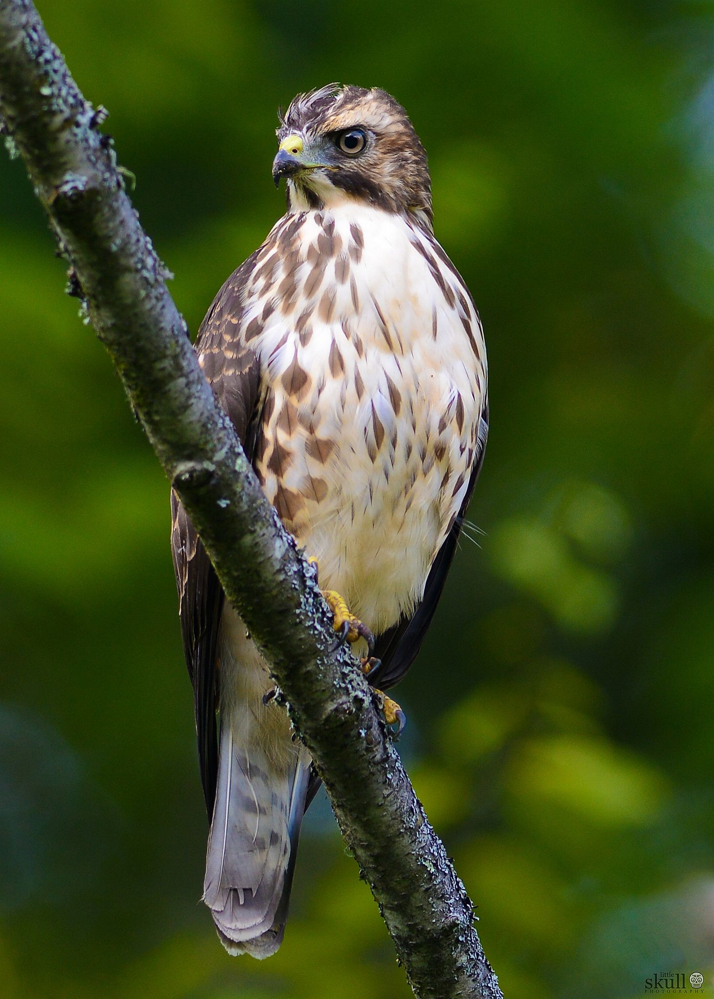 Broad Winged Hawk Bird Life List Birds Of Prey During The Summer