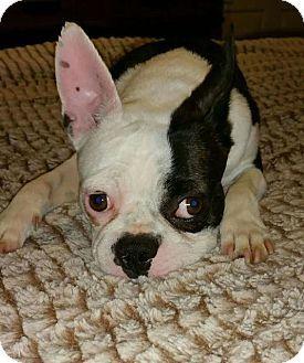 4 8 16 Frederick Md Boston Terrier French Bulldog Mix Meet