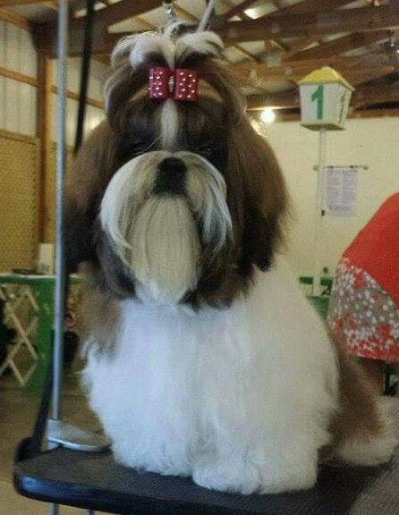 Miralan S Thunderstruck Westminster Dog Show Dog Show Shih Tzu