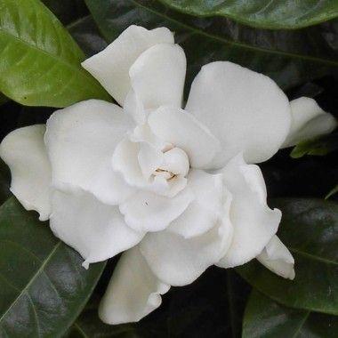 Le Gardénia ou Jasmin du Cap est un arbuste aux feuillage persistant vert luisant, très utilisé ...