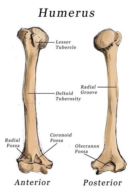 humerus anatomy | biology | Pinterest | Anatomy