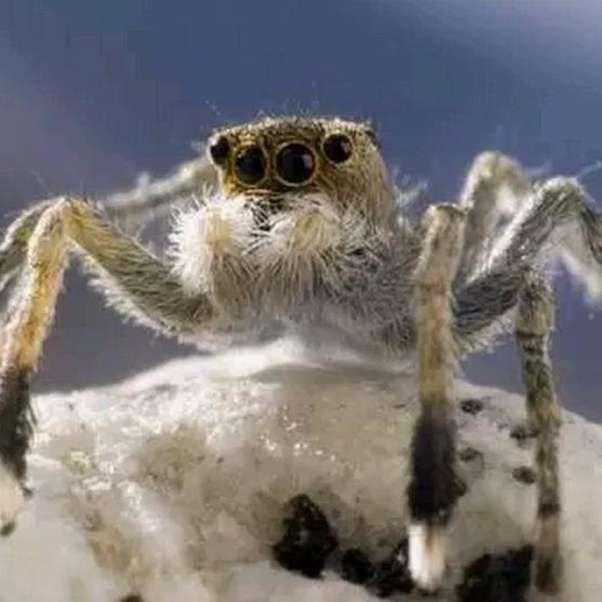 La araña saltadora del Himalaya (en latín: Euophrys omnisuperstes ...