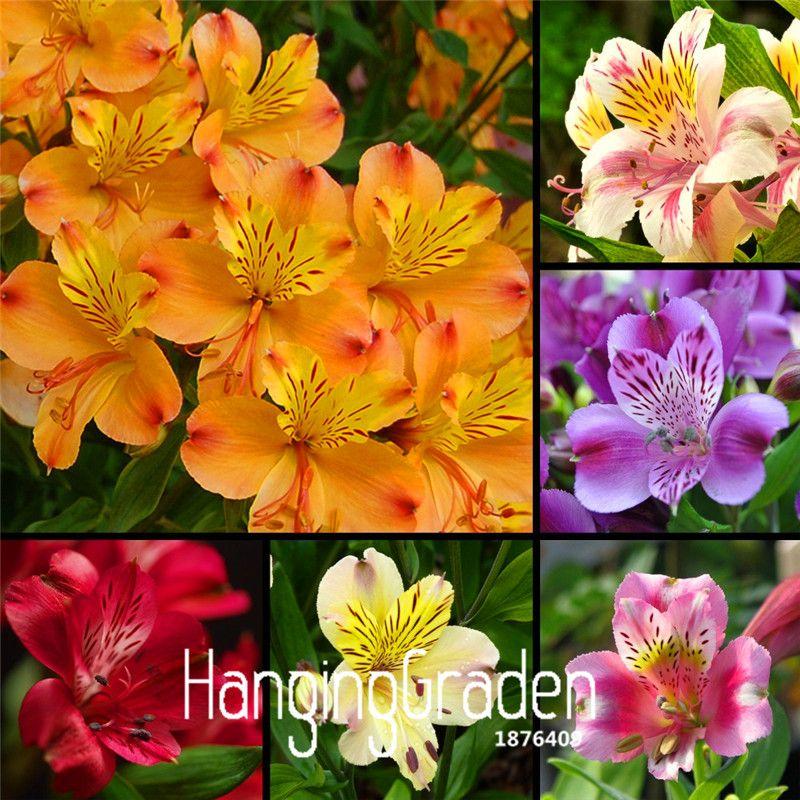 Genuine! 100 Pcs/Pack Mix Peruvian Lily flower Lilie seeds garden decoration plant