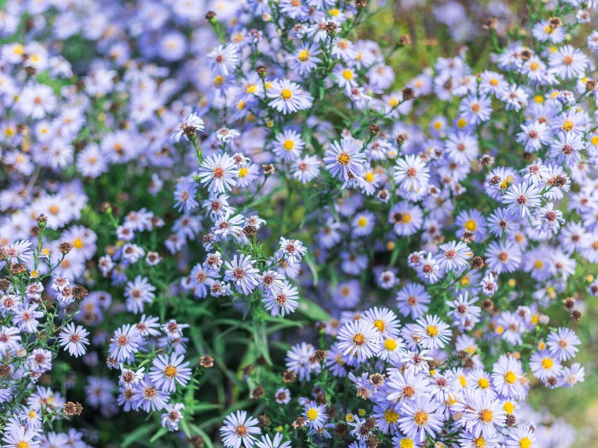 Asters Are Popular In Perennial Flower Beds Because They Produce Gorgeous Flowers Later In The Season To Keep Aster Flower Flower Landscape Flower Garden Plans