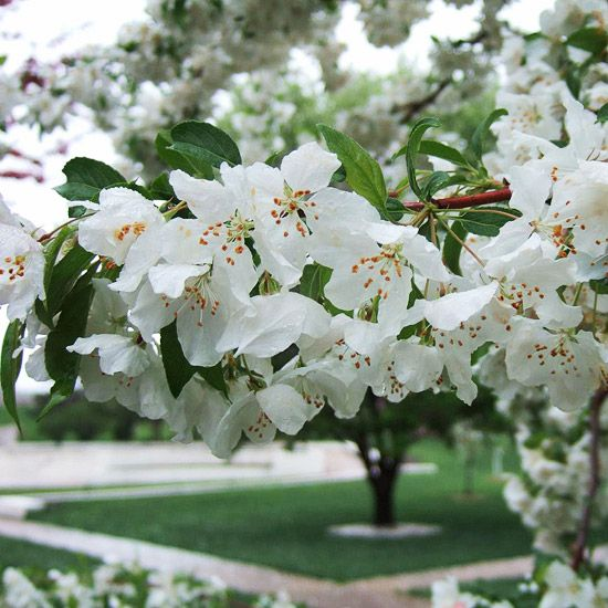 Small Ornamental Trees Nc: Best Crabapples For Your Yard