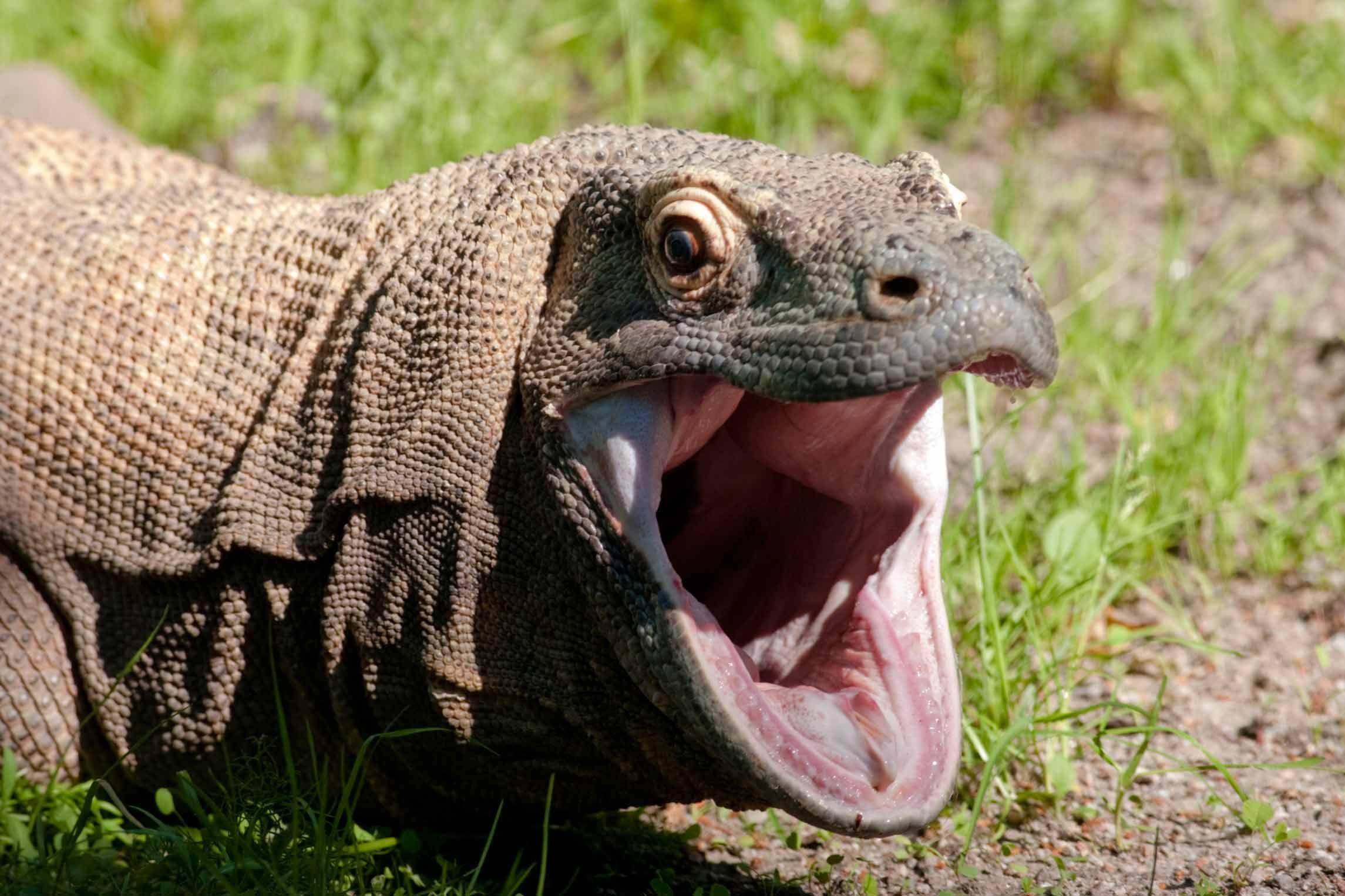 Komodo Dragon | Komodowaran | Pinterest | Komodo, Komodo ...