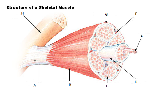 Biol251 Ch 10 Muscles Muscle Hypertrophy Skeletal Muscle Muscle Structure