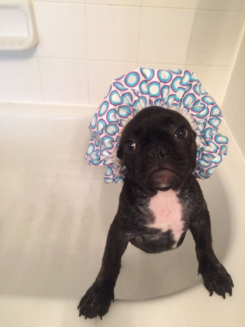 bath time Odin the Frenchie French bulldog, Dogs, Animals