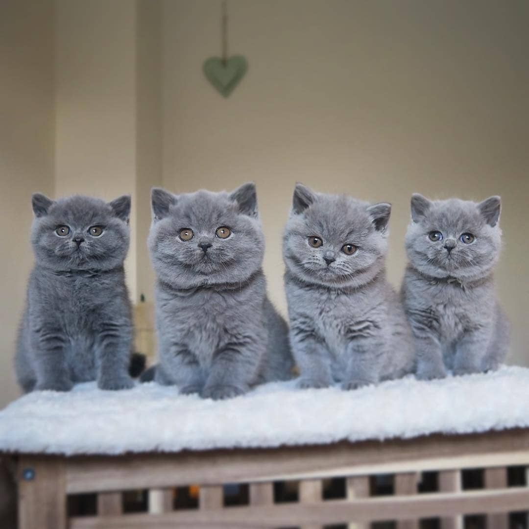 Russian Blue RUSSIAN BLUE BABIEEEEES!! ADORABLE PICTURE