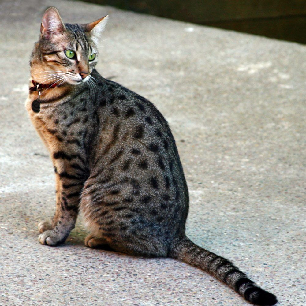 Egyptian Mau Kittens for Sale & Cats for Adoption