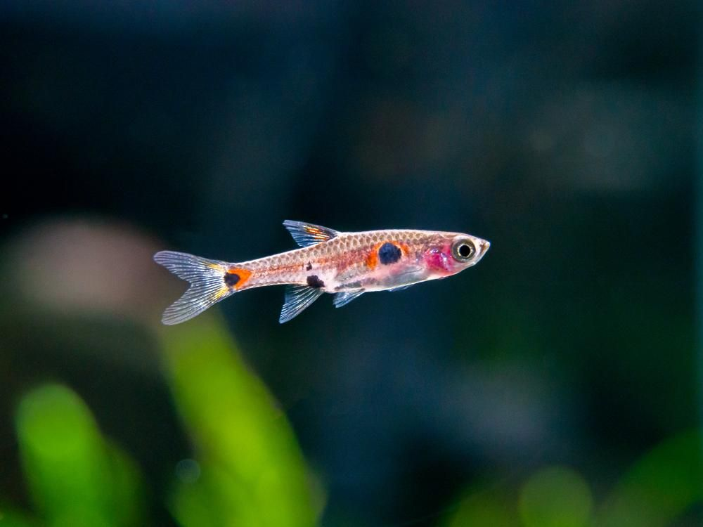 Dwarf Aka Pygmy Rasbora Boraras Maculatus Salt Water Fishing Fish Nano Aquarium