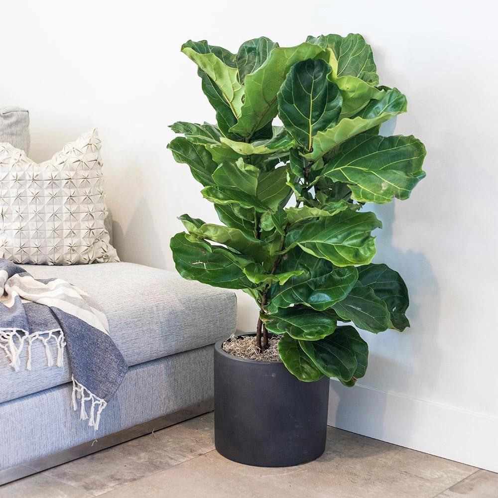 Ficus Lyrata Fiddle Leaf Fig Large in 2020 Large indoor