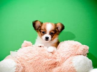 Rose Is One Of Our Papillon Puppiesf Or Sale Papillon Puppy Papillon Puppies For Sale Cute Animals