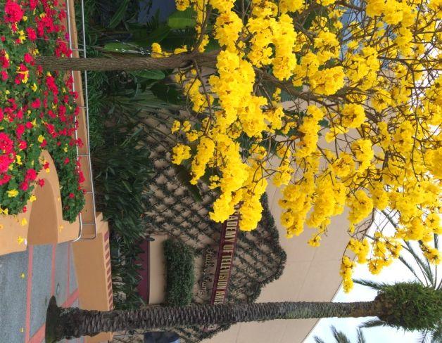 Yellow Flower Tree Florida Names Google Search Fl