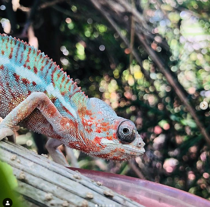 babycham pantherchameleon ambilobepanther florida
