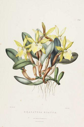 Glaucous-stemmed Brasavola. Rhyncholaelia glauca [as Brassavola glauca] The Orchidaceae of Mexico and Guatemala (1837-1843) [Sarah Ann Drake]