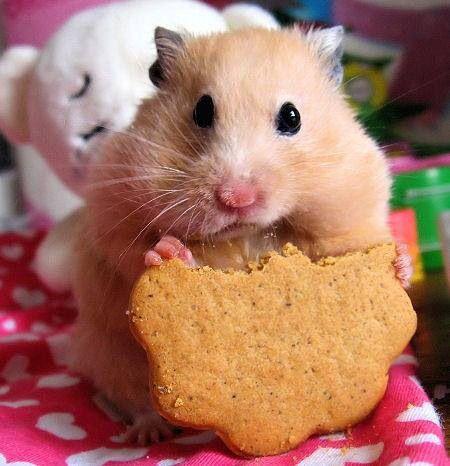 Animales hámster comiendo galleta