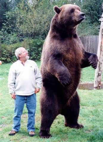 Compare to human | Bear pictures, Grizzly bear