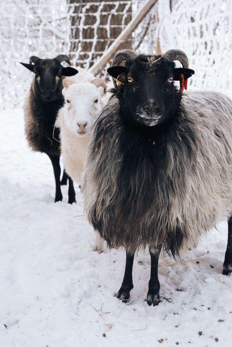 Unsere heidschnucken allertalhof blog heidschnucken for Schafe halten im garten