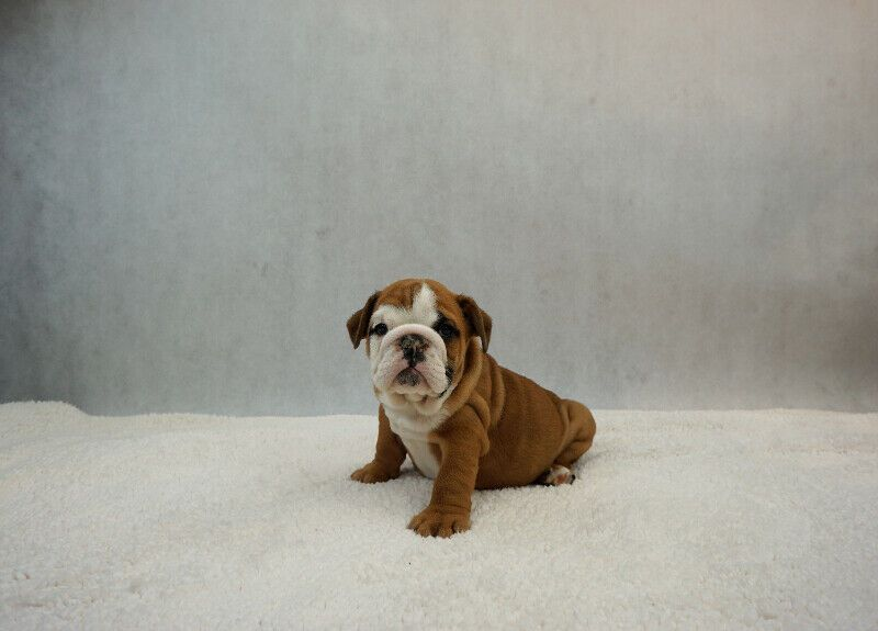 English Bulldog Puppies Dogs Puppies For Rehoming City Of