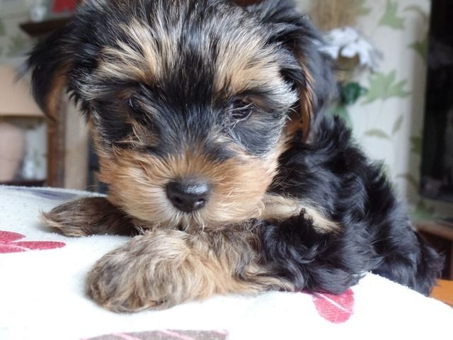 Animals He Is A Beautiful Yorkie With Rich Tan Markings And Dark Black Coloring He Is A Very Spo Yorkshire Terrier Puppies Yorkshire Puppies Terrier Puppies