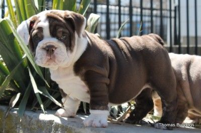 Chocolate Trindle English Bulldog Triple Carrier Male Dog