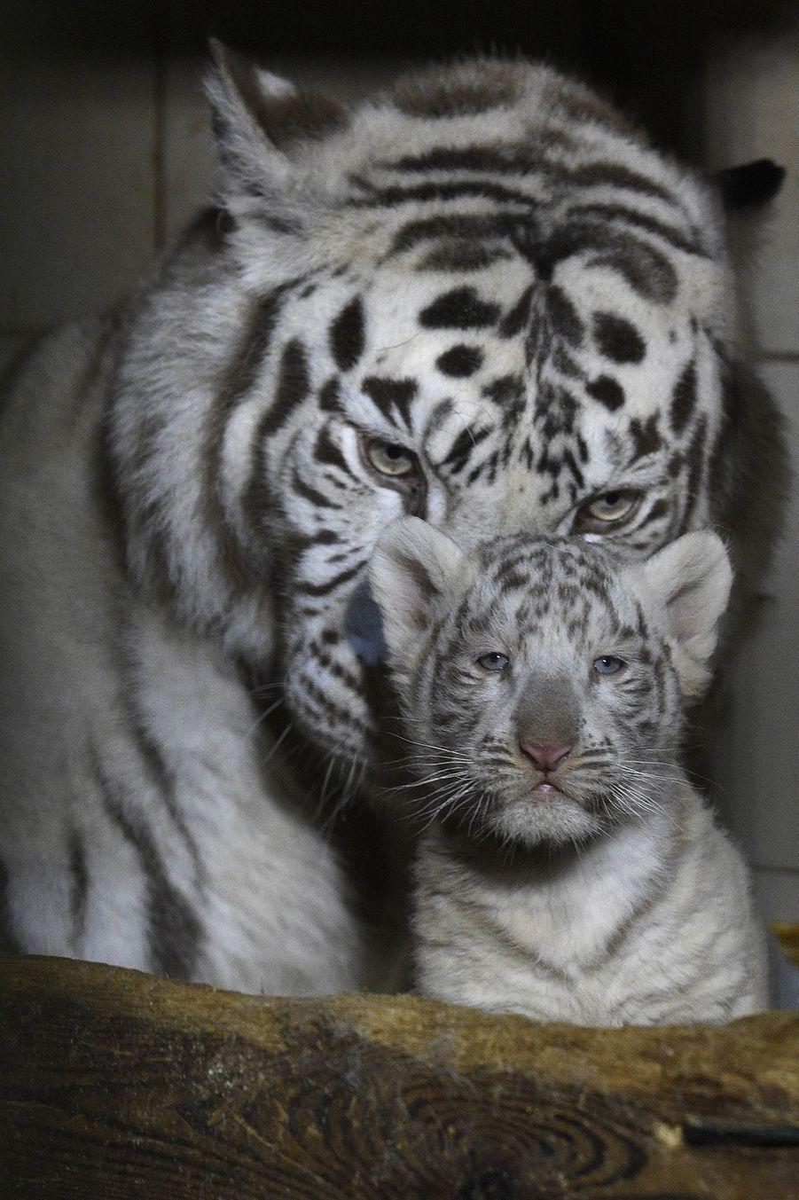 Trois Tigres Blancs Naissent Au Zoo D Amneville En 2020 Tigre Blanc Tigres Bebe Tigre Blanc